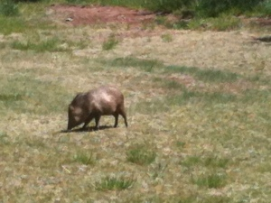 The javelina, or peccary. It is not a wild pig or a rodent. Somehow related to the hippo. Weird.